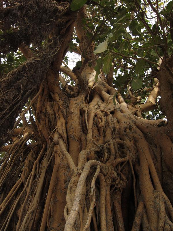 Tree in Segou, Mali